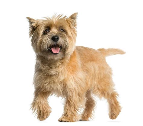 100 cairn terrier non shedding small dogs cairn