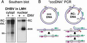 Hbv Cccdna  Viral Persistence Reservoir And Key Obstacle