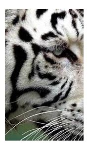 Rare white tiger kills zookeeper in Japan | Asia News ...
