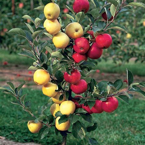 wholesale garden stark delicious apple apple trees stark bro 39 s