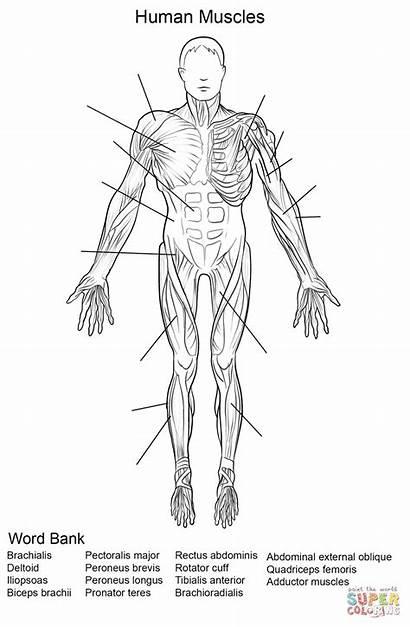 Anatomy Human Printable Worksheets Worksheet Muscles Coloring