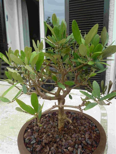 entretien olivier en pot perd ses feuilles inqui 233 tude pour mon olivier perte des feuilles mon bonsai ne va pas bien forums parlons bonsai