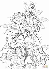 Coloring Rose Printable Flower Roses Colouring Flowers Rosa Colorear Supercoloring Para Bush Flores Páginas Dibujos Crafts Sheets Sketch Adult Imprimir sketch template