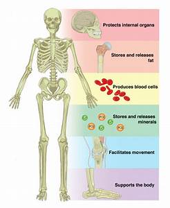 6 1 The Functions Of The Skeletal System