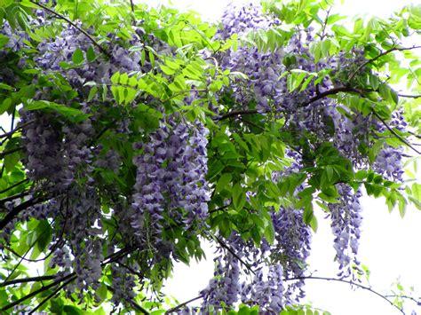what is that vine wisteria vine imagesandwordsbylorraine