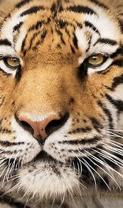 Eye's of a Tiger - Images captured at the Zoo....It's ...