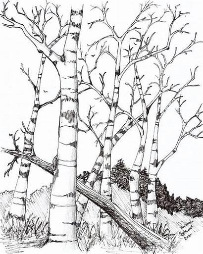 Birch Tree Trees Drawing Drawings Coloring Burning