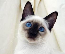 siamese cats for siamese cat wallpaper animals wiki pictures