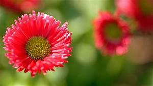 Was Blüht Im Schatten : tausendsch n im garten tipps zu standort und pflege von bellis ~ Markanthonyermac.com Haus und Dekorationen