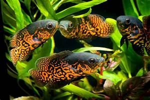 Süßwasserfische Fürs Aquarium : s wasserfische aquarium aquaristik center ost ~ Lizthompson.info Haus und Dekorationen