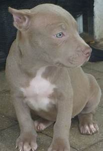 Pin Silver Fawn Pitbull Puppies Image Search Results on ...