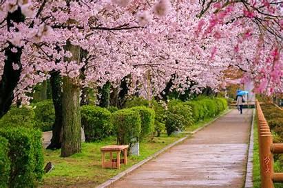 Cherry Blossoms Japan October Pexels Pop