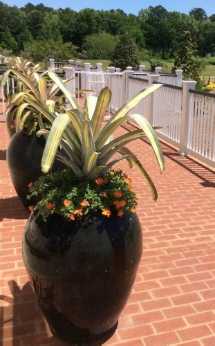 bromeliads thrill    landscape  containers