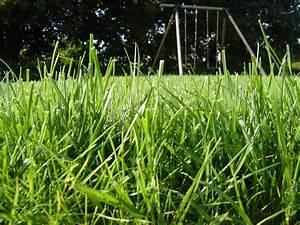 Gazon Pour L Ombre : pelouse et gazon conseils d 39 entretien tonte et traitements ~ Premium-room.com Idées de Décoration