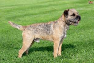 Small Non Shedding Dogs Easy To Train by Border Terrier Dog Breed Information Buying Advice