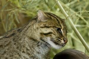 fishing cat fishing cat