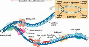 Dna Replication Labeled