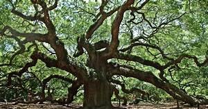 Baum Mit H : weltb hne angel oak ein baum des lebens ~ A.2002-acura-tl-radio.info Haus und Dekorationen