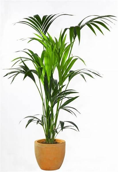 Plant Plants Palm Kentia Indoor Care Tree