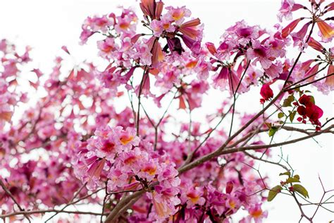 tree with pink flowers name the gallery for gt names of pink flowering trees