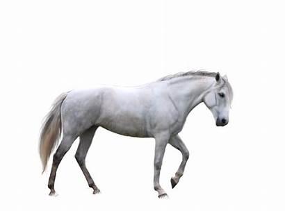 Horse Transparent Background Clipart Pony Cliparts Clip