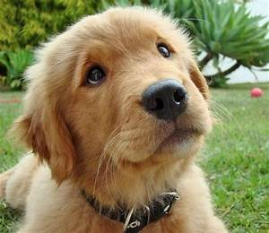 Golden Retrievers are the cutest puppies ever!! : TopFoodPics