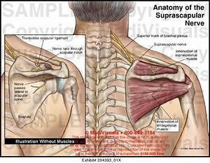 Suprascapular Nerve Entrapment Is An Uncommon Nerve