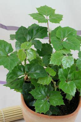 Zimmerpflanzen Datenbank Klimme by Cissus Rhombifolia Vino Klimme Plant Decor