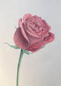 Colored Pencil Rose Drawing