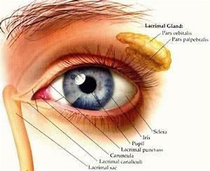 Lacrimal Gland Diagram  U2013 The Eye Si Gh T