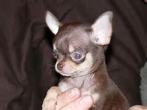 Baby Chiwawa Puppies for Sale