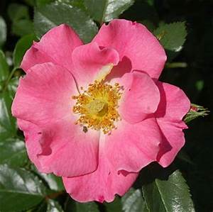 Wann Schneidet Man Rosen Zurück : schnitt von wildrosen und einmal bl hende strauchrosen ~ Orissabook.com Haus und Dekorationen