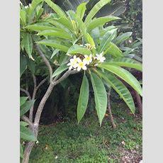 Frangipani (plumeria) This Is The Iconic Tropical Plant