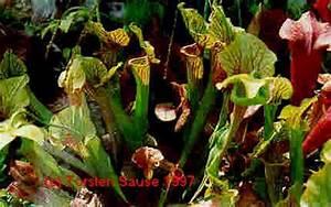 Fleischfressende Pflanze Pflege : cp carnivorous plants fleischfressende pflanzen ~ A.2002-acura-tl-radio.info Haus und Dekorationen