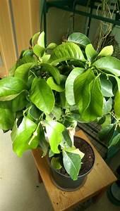 Zitruspflanzen Gelbe Blätter : gelbe baumzypresse bonsai pompon cupressocyparis leylandii castlewellan gold bonsai g nstig ~ Orissabook.com Haus und Dekorationen