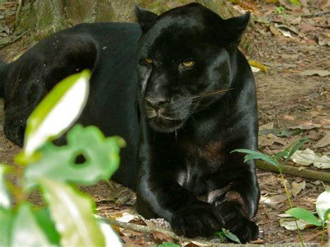 black jaguar diet habitat facts and lifespan with