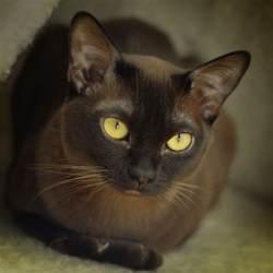burmese cat pin by ilke sharratt on burmese cat