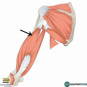 Lateral Head Of Triceps Brachii  U2022 Muscular