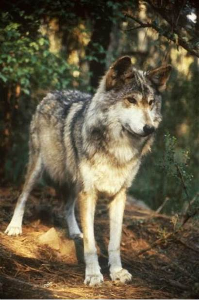 Wolf Grey Mexican Asia Central Europe Endangered