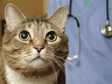 bluthochdruck bei katzen regelmaessige augenuntersuchungen