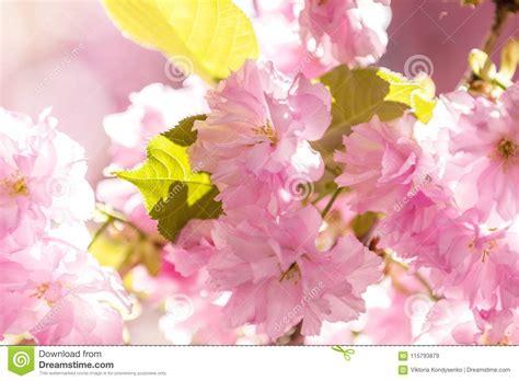 Close Up Of Pink Blossom Cherry Tree Branch Sakura