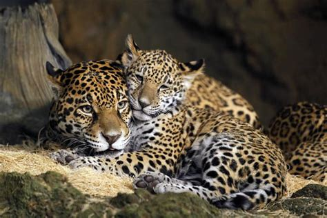 Names Picked For Zoo's Baby Jaguars