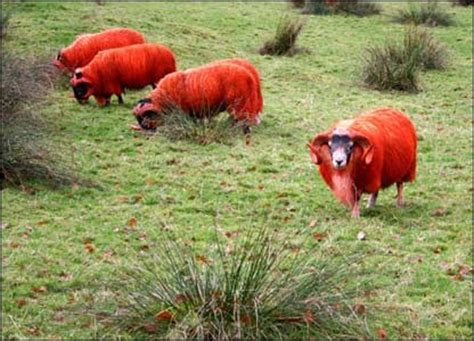 colored sheep deltabluez stockdogs colored sheep