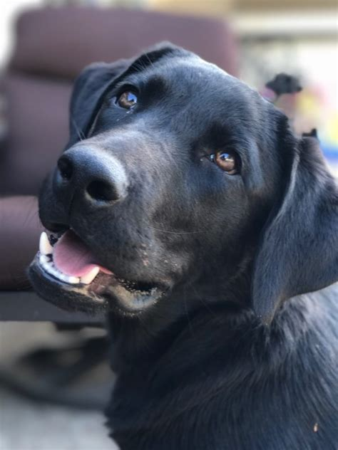 labrador retriever training  colleyville texas