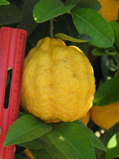 orange hybrid fruit citrus id fact sheet lemon like hybrids