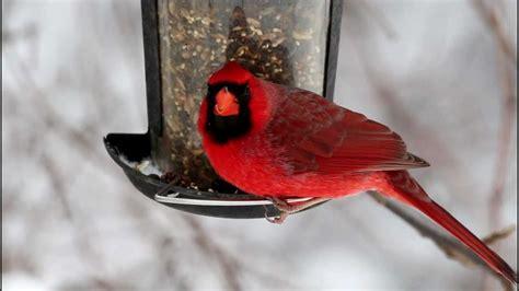 cardinal bird feeder cardinal at bird feeder