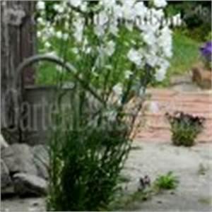 Unkraut Zwischen Steinen : hohe pfirsichbl ttrige glockenblume campanula ~ Michelbontemps.com Haus und Dekorationen