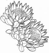 Protea Flower Drawing Coloring King Google Sketch Tattoo Drawings Draw Waratah Template Flowers Africa South Sketches Line Sketchite Flores Dibujos sketch template