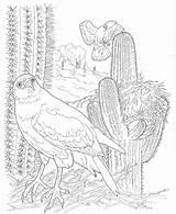 Coloring Desert Pages Saguaro Animals Print Hawk Sonoran Nature Harris Template Popular sketch template