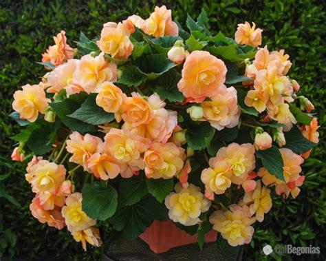history of scentiment begonias fragrant begonias calbegonias